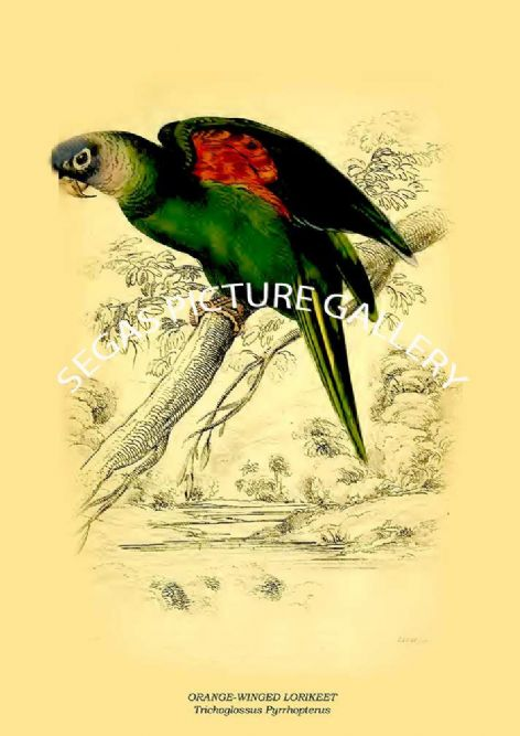 Fine art print of the ORANGE-WINGED LORIKEET - Trichoglossus Pyrrhopterus by Prideaux J. Selby (1836)